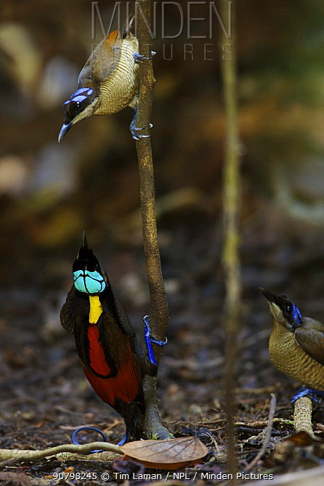 Wilson's Bird of Paradise (Cicinnurus respublica) male and two females in display court, Batanta Island, Papua, Indonesia. Near-threatened.