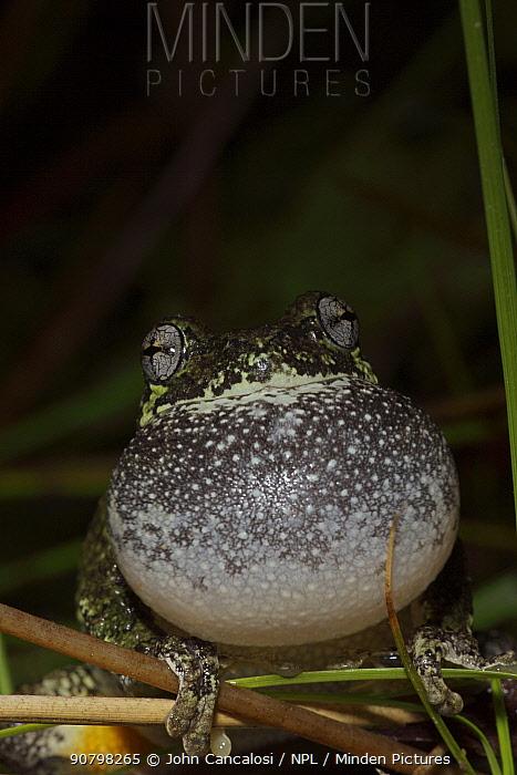 Grey tree frog (Hyla versicolor) calling to attract mate, New York, USA