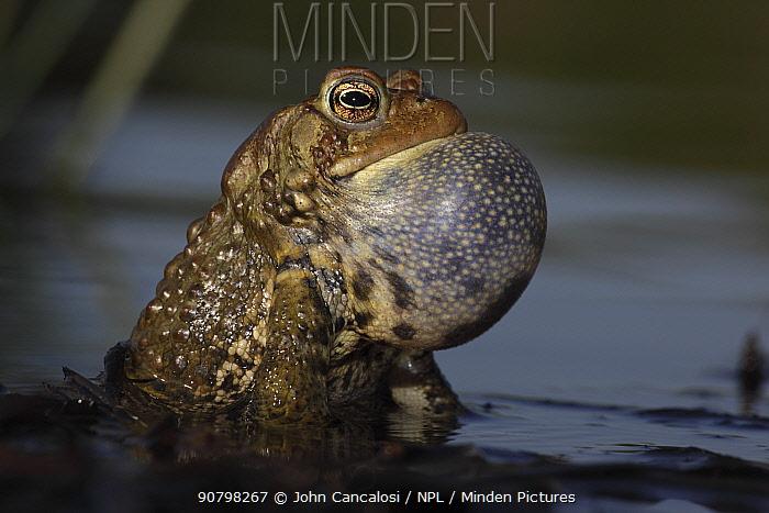American toad (Bufo americanus) male calling to attract female, New York, USA