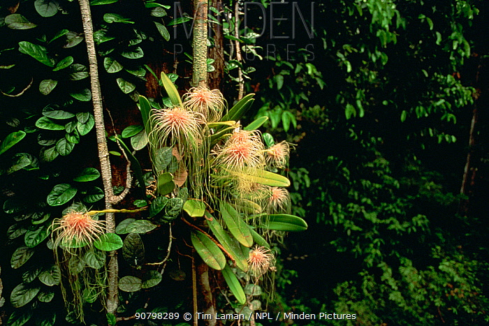 Epiphytic orchid (Bulbophyllum medusae) growing in the canopy of the lowland rainforest, Gunung Palung National Park, Borneo, West Kalimantan, Indonesia