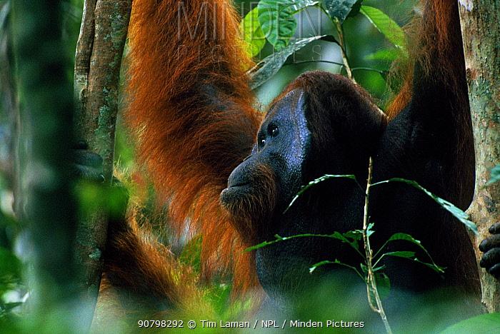 Adult male Bornean orangutan (Pongo pygmaeus) in rainforest canopy, Gunung Palung National Park, Borneo, West Kalimantan, Indonesia