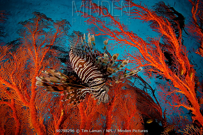 Lionfish (Pterois) hovering in a Sea Fan in a view looking toward the surface of the water. Misool Island vicinity. Near smaller island of Fiabacet. West Papua, Indonesia, April 2007