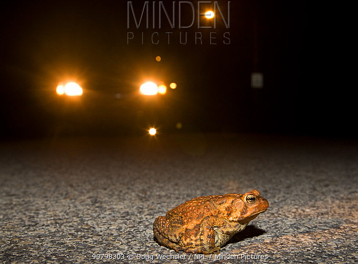 American toad (Bufo americanus) crossing road at night in front of car headlights, Philadelphia, Pennsylvania, USA, March