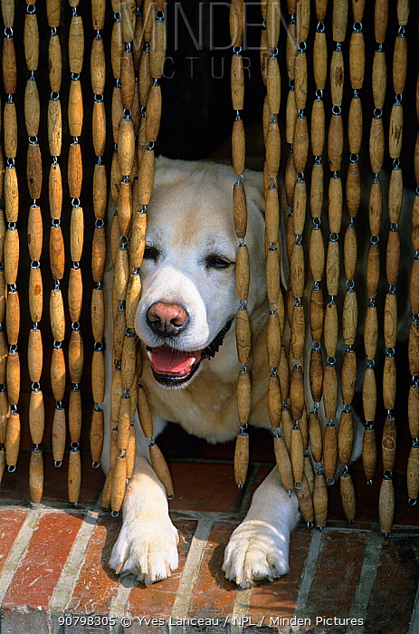 Labrador Retriever, yellow dog lying in doorway in cool of room behind bead curtain, France