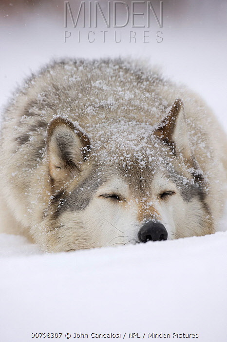 Grey Wolf (Canis lupus) head portrait of male, sleeping in snow, Captive