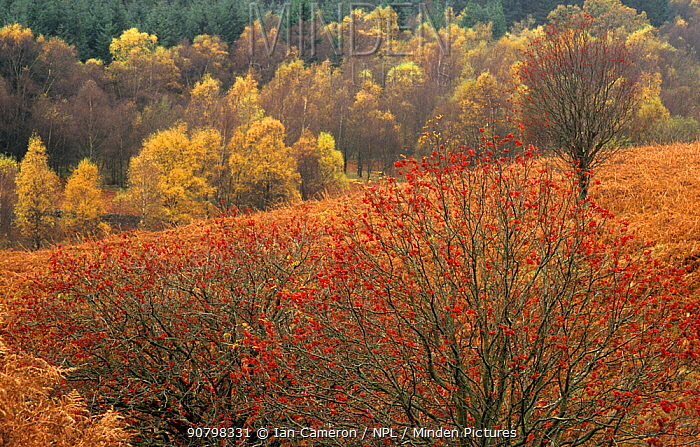 Rowan tree (Sorbus aucuparia) with red berries in autumn. Conic hill, East Lomond, Scotland.