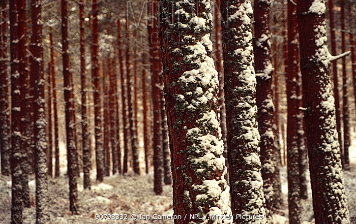 Pine forest on the outskirts of Forres after winds have driven snow up their trunks. Forres, Moray, Scotland.