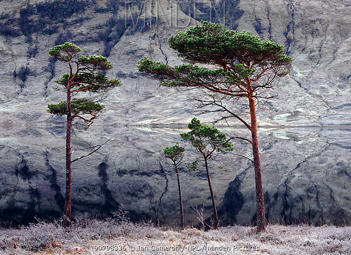 Scots pine trees (Pinus sylvestris) against frosted scree slope reflections in Loch a Chroisg, near Kinlochewe, Highlands, Scotland.