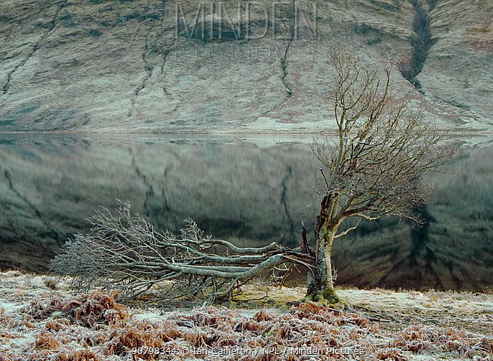 Old tree, allegedly struck by lightning at Loch a Chroisg, Achnasheen, Scotland.