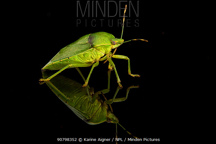 Studio portrait of a Green stink bug (Acrosternum hilare)  pests of nut and fruit trees, cotton, soybean and other crops. Mexican free-tailed bats feed on a few species of stink bugs.Texas, USA, June.