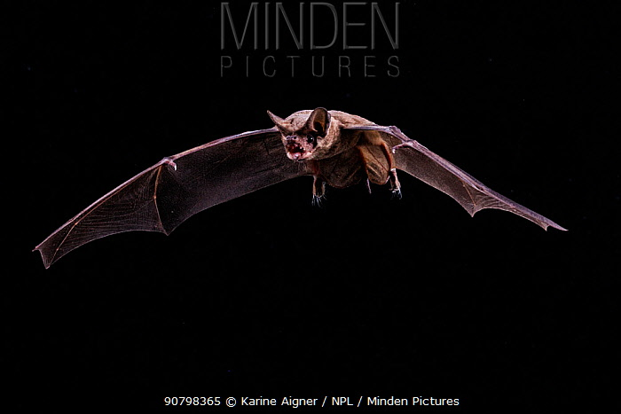 Mexican Free-Tailed Bat (Tadarida brasiliensis) in flight on black background in field studio, Texas, USA, July.