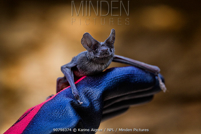 Mexican free-tailed bat (Tadarida brasiliensis) on a glove.  Bracken Cave Preserve, San Antonio, Texas, USA, July.