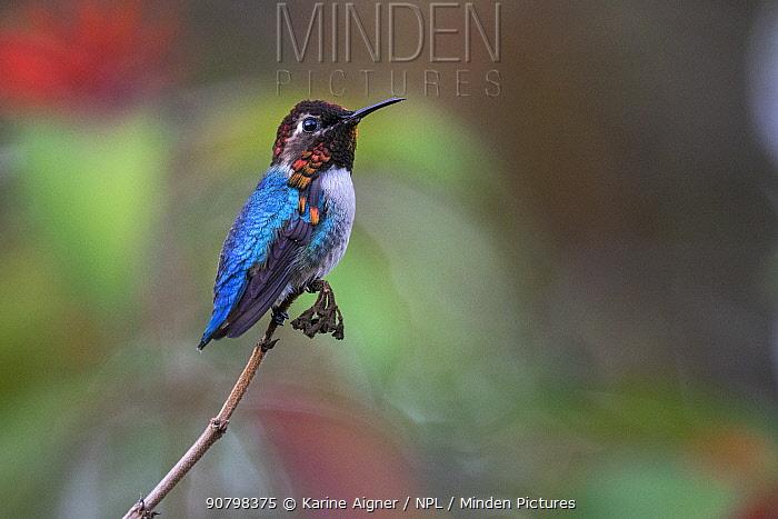 Bee hummingbird (Mellisuga helenae) male,  the world's smallest bird, endemic to Cuba. Cienaga de Zapata National Park, Cuba