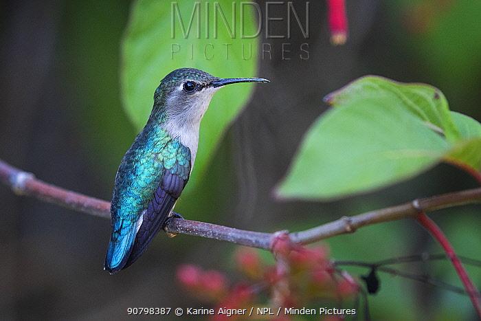 Bee hummingbird (Mellisuga helenae) female, the world's smallest bird, endemic to Cuba.  Cienaga de Zapata National Park, Cuba
