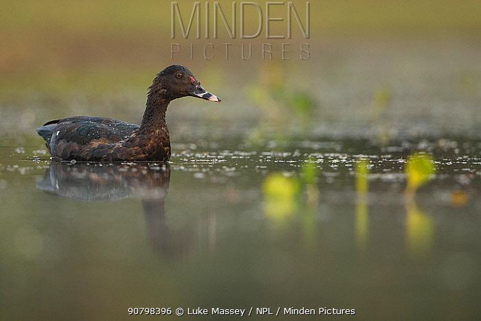 Muscovy duck (Cairina moschata) in water Pantanal, Brazil.