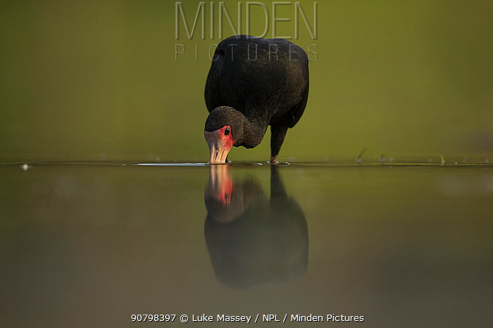 A Bare faced ibis (Phimosus infuscatus) feeds in water Pantanal, Brazil.