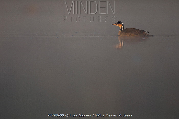 Sungrebe (Heliornis fulica) on water, Pantanal, Brazil.