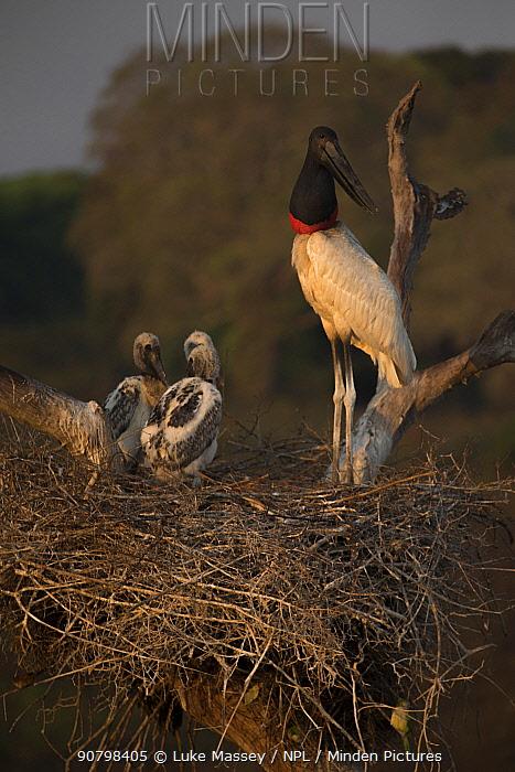 Jabiru stork (Jabiru mycteria) male at the nest with its chicks, Pantanal, Brazil.