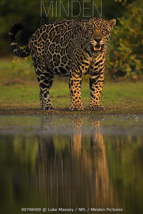 Jaguar (Panthera onca) male walking along water's edge, Pantanal, Brazil.