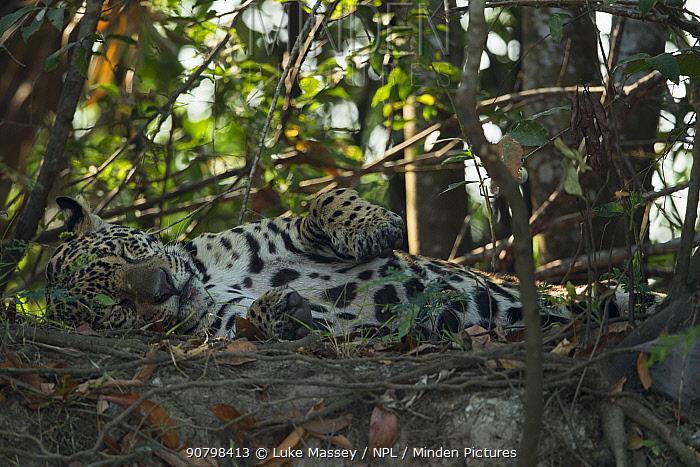 Jaguar (Panthera onca) rests on a river bank, Pantanal, Brazil.