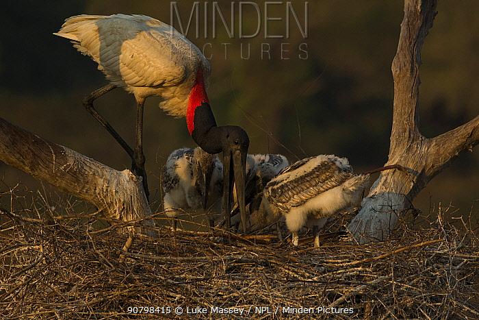 Jabiru stork (Jabiru mycteria) male at the nest, feeding its chicks, Pantanal, Brazil.