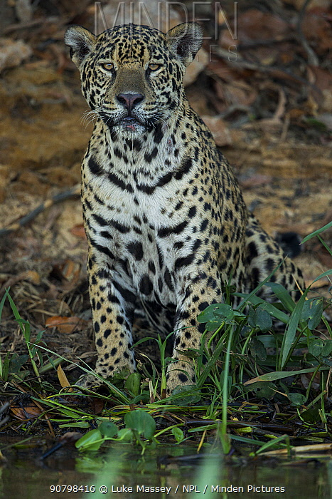 Jaguar (Panthera onca) female resting, Pantanal, Brazil.