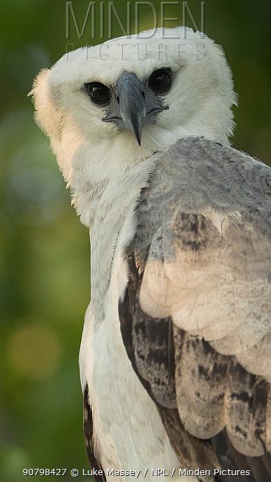 Harpy eagle (Harpia harpyja) juvenile, Amazon, Brazil.