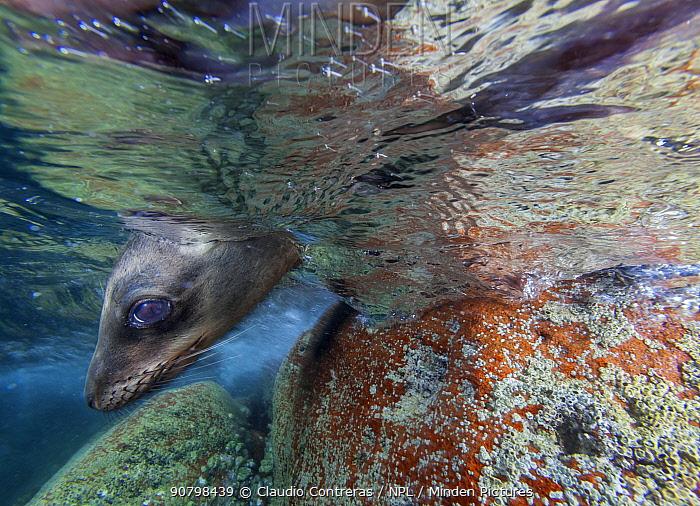 Californian Sea Lion (Zalophus californianus), Los Islotes, Espiritu Santo National Park, Sea of Cortez (Gulf of California), Mexico, February