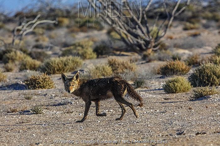 Coyote (Canis latrans), San Ignacio Lagoon, El Vizcaino Biosphere Reserve, Baja California, Mexico, March