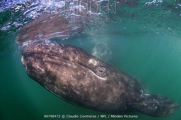 Grey whale (Eschrichtius robustus) calf, San Ignacio Lagoon, El Vizcaino Biosphere Reserve, Baja California, Mexico, March