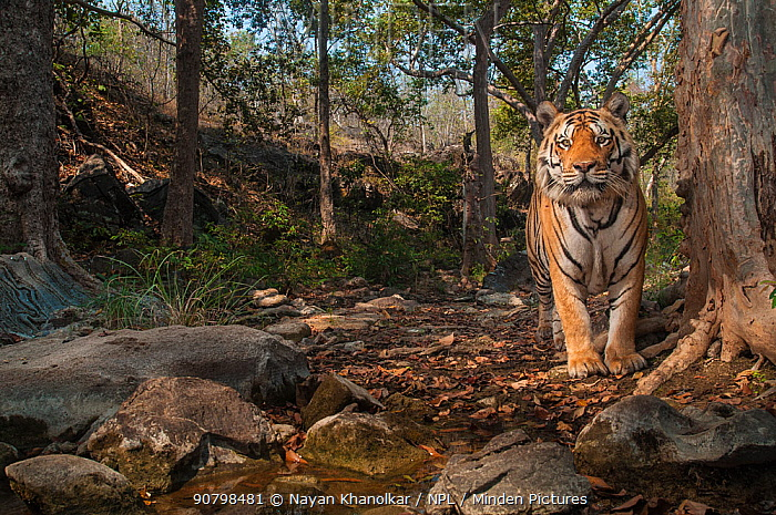 Bengal tiger (Panthera tigris tigris), male near tree previously spray marked by female. Camera trap image. Pench National Park, Madhya Pradesh, India. January 2018.