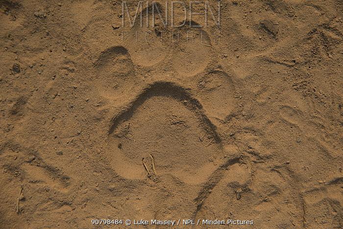 Jaguar (Panthera onca) footprint, Brazil