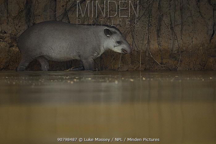 South American tapir (Tapirus terrestris) wades through a river Pantanal, Brazil.