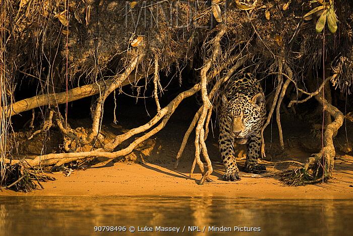 Jaguar (Panthera onca) emerging from undergrowth along river bank, Pantanal, Brazil.