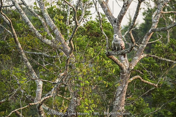 Harpy eagle (Harpia harpyja) juvenile Amazon, Brazil.