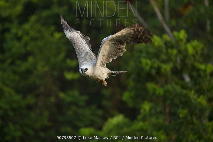 Harpy eagle (Harpia harpyja) juvenile in flight Amazon, Brazil.