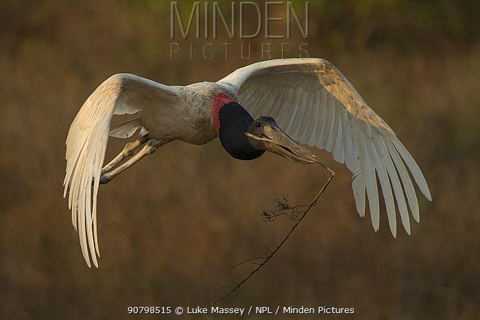 Jabiru stork (Jabiru mycteria) male flying with nesting material Pantanal, Brazil.