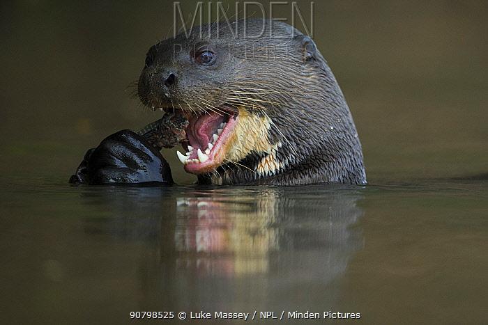 Giant otter (Pteronura brasiliensis) feeding on a Pleco catfish (Loricariidae) Rio Cuiaba, Brazil