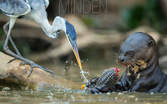 Giant otter (Pteronura brasiliensis) feeding on a catfish (Loricariidae) with Cocoi heron (Ardea cocoi) scavenging remnants, Rio Cuiaba, Brazil