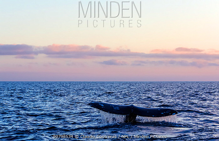 Grey whale (Eschrichtius robustus) tail, Magdalena Bay, Baja California, Mexico, February