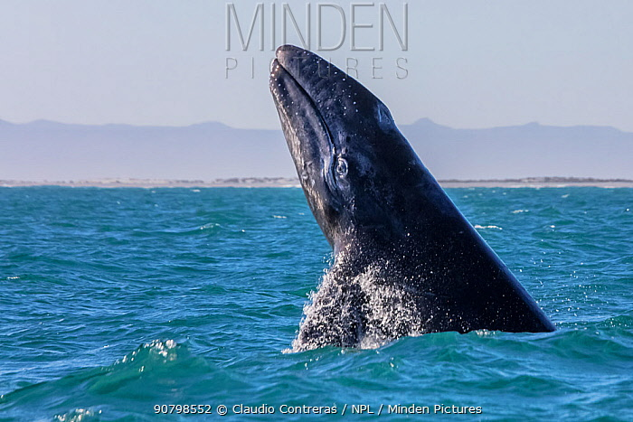 Grey whale (Eschrichtius robustus) breaching, San Ignacio Lagoon, El Vizcaino Biosphere Reserve, Baja California, Mexico, March