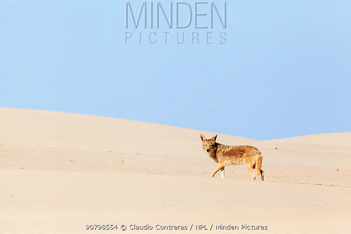Coyote (Canis latrans) on sand dune, Bahia Magdalena, Baja California Peninsula, Mexico, June