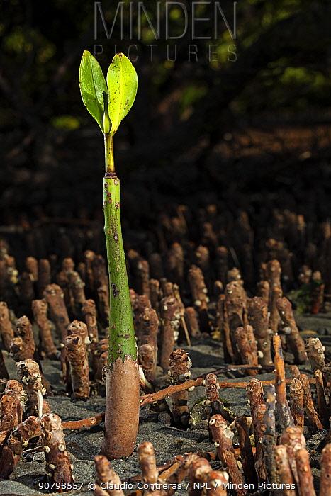 Red Mangrove (Rhizophora mangle) seedling, Bahia Magdalena, Baja California Peninsula, Mexico, June