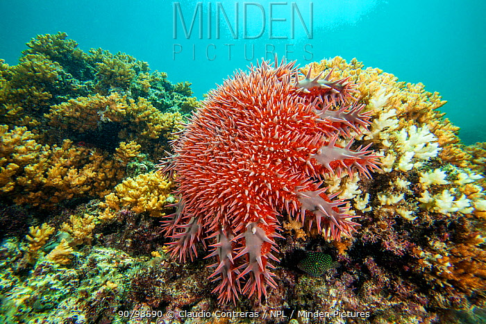 Crown of Thorns Seastar (Acanthaster planci) eating coral, Espiritu Santo National Park, Sea of Cortez (Gulf of California), Mexico, February