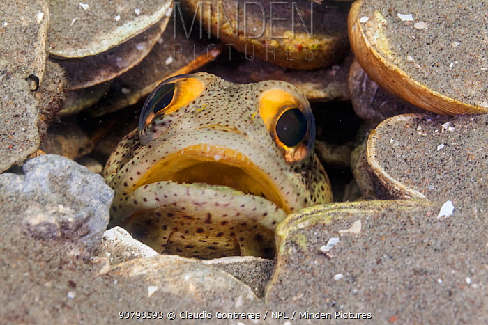 Finespotted Jawfish (Opistognathus punctatus), Bahia Magdalena, Baja California Peninsula, Mexico, June