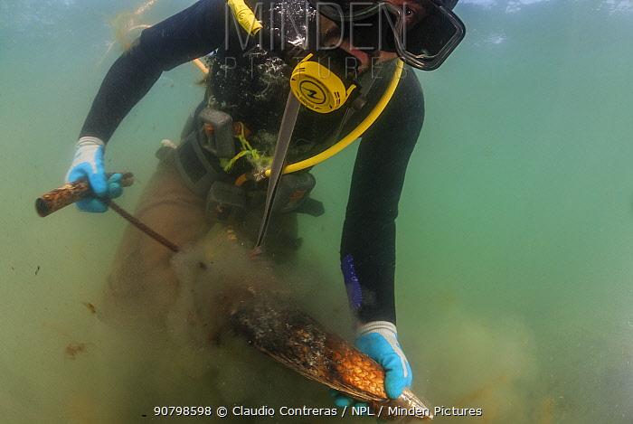 Diver Ramon Aguilar Villavicencio collecting Pen Shell Clam (Atrina maura), San Ignacio Lagoon, El Vizcaino Biosphere Reserve, Baja California, Mexico, March