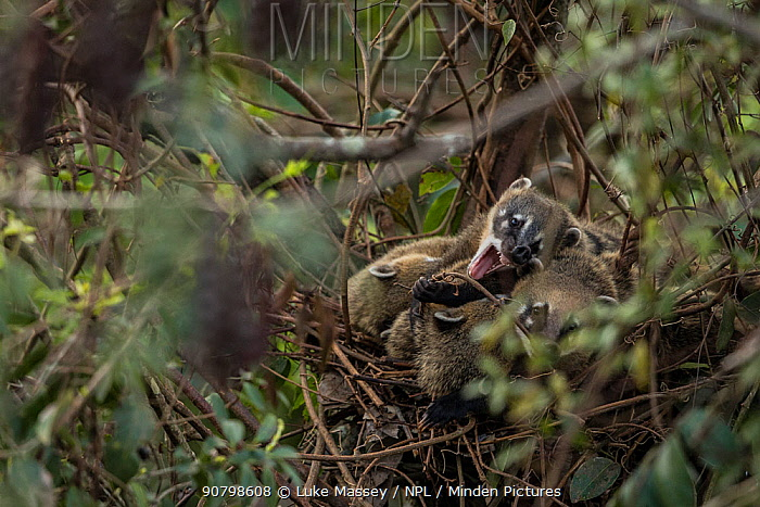 South American coatis (Nasua nasua) in their roost nest at Iguassu Falls, Brazil