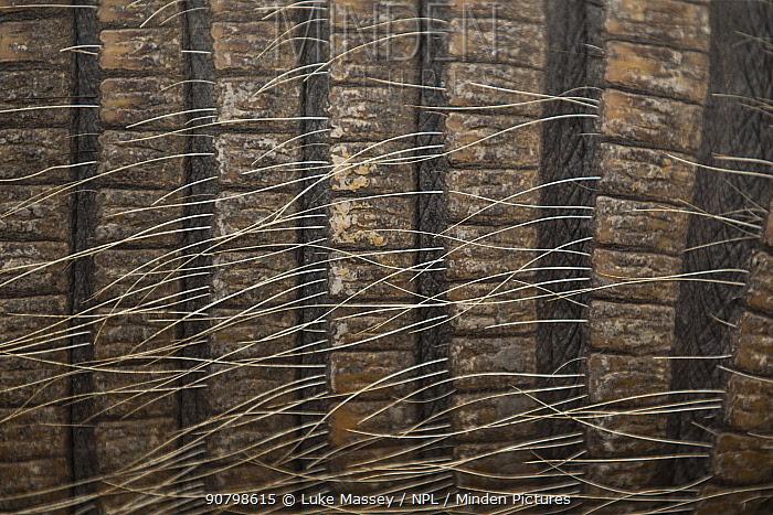 Close-up of 7 banded armadillo (Dasypus septemcinctus) skin and hairs, Pantanal, Brazil.