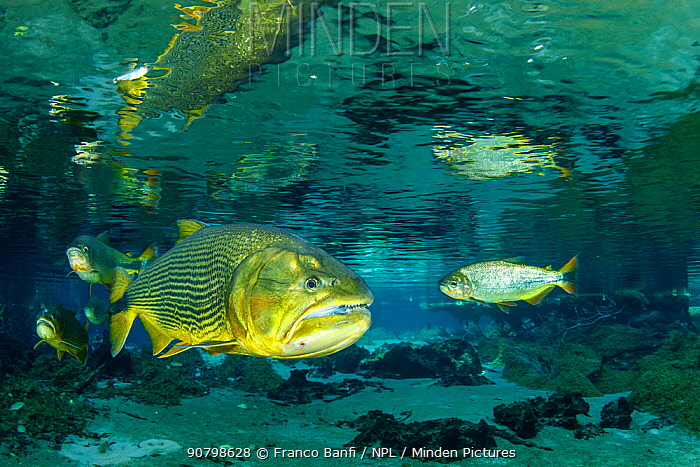 Freshwater Dorado, (Salminus brasiliensis) reflected on the surface, Recanto Ecol�gico, Rio da Prata, Bonito, Mato Grosso do Sul, Brazil
