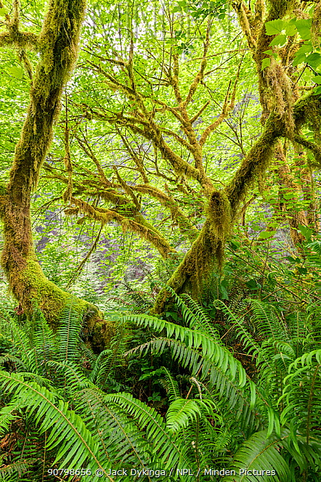 Big leaf maple (Acer macrophyllum) draped in moss and surrounded by lush forest understory of sword ferns (Polystichum munitum) Prairie Creek Redwoods State and National Park, California.